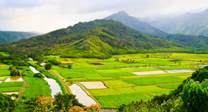 Taro Fields in Kauai Stock Photography