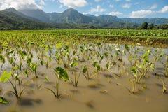 Taro fields kauai hawaii Royalty Free Stock Photography