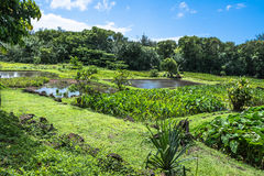 Taro fields of Kauai, Hawaii Stock Photo