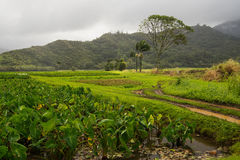 Taro fields on Kauai Stock Photography