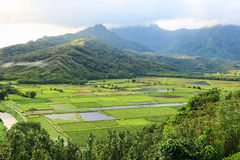 Taro fields Stock Images