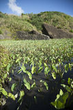 The Taro fields in Lanyu. Of Taiwan Stock Images