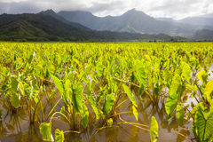 Taro fields, mountains, rain clouds, tropical Kauai island Royalty Free Stock Images