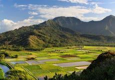 Taro Fields på Kauai, Hawaii Arkivbild