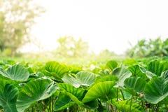 Taro foeld with sunlight. Green taro field with beautiful sunlight Stock Photo