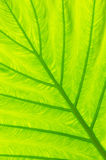 Taro leaf. The close up texture of  yellow green taro leaf under the sunlight Stock Photos