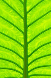 Taro leaf. The close up texture of  yellow green taro leaf under the sunlight Royalty Free Stock Photo