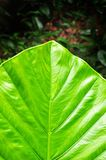 Taro leaf Royalty Free Stock Image