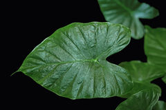 Taro Leaf Royalty Free Stock Photography