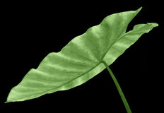 Taro leaf Stock Images