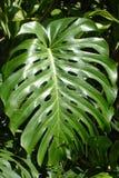 Taro Leaf Stock Photos
