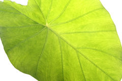 Taro leaf. A bright green giant taro leaf with white background stock images