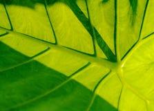 Taro Leaf Stock Image