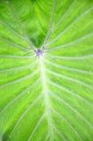 Taro leaf Stock Images