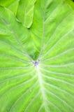 Taro leaf Stock Photography