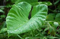 Taro leaf with dew Stock Photos