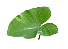 Taro Leaf Royalty Free Stock Images