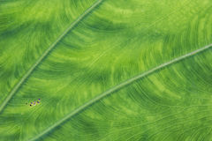 Taro leaf texture Royalty Free Stock Photos
