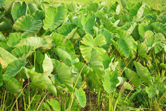 Taro leaves Royalty Free Stock Photos