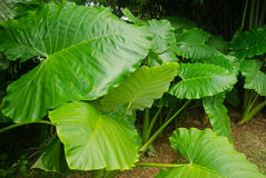 Taro leaves, Araceae colocasia antiquorum schott Stock Photography