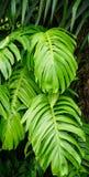 The taro leaves at Botanic Garden in Singapore Stock Images