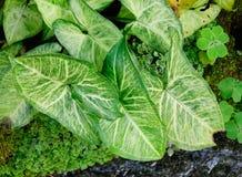 Taro liście przy parkiem Fotografia Stock
