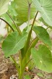Taro Plant Fotografia Stock Libera da Diritti