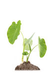 Taro plant. 2 taro plants with white background royalty free stock photo