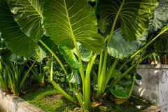 Taro plant with big leaves photo taken in Bogor Indonesia Stock Photos