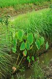 Taro plant grow together the others Stock Images
