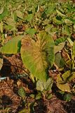 Taro plant insect. Causes the yield lose in the production field Royalty Free Stock Photos