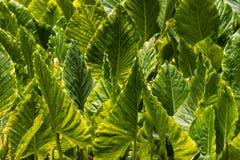 Taro plant plantation Stock Image