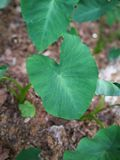 Taro plant. S in the field, wuhan city, china royalty free stock photography