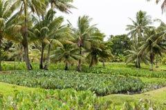 Taro plantation - Colocasia esculenta Stock Photos