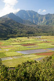 Taro plantation. In Hanalei National Wildlife Refuge, Kauai, Hawaii Royalty Free Stock Photo