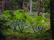 Taro Plants énorme à la jungle de Palenque Images libres de droits