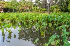 Taro Plants Fotografía de archivo libre de regalías