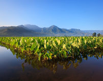 Taro plants at Hanalei. Reflection of Taro plants in Hanalei valley on Kauai with the Na Pali mountains in the background royalty free stock photography