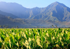 Taro plants at Hanalei Royalty Free Stock Photos