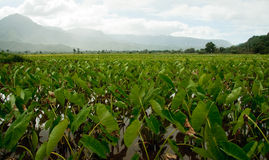 Taro plants in Hanalei valley. Close-up of Taro leaves in the Hanalei valley in Kauai stock images