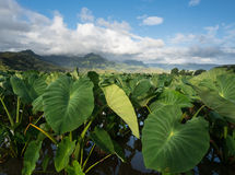 Taro plants in Hanalei Valley in Kauai stock images