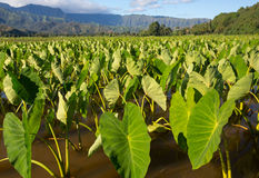 Taro plants in Hanalei Valley on Kauai Royalty Free Stock Image