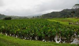 Taro pola blisko Hanalei, Kauai zdjęcia stock