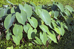 Taro Root Leaves Stock Images