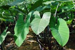 Tarobladeren De groenten van de installatiebladeren van het olifantsoor stock foto's