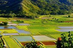 Tarofält i den härliga Hanalei dalen på den Kauai ön, Hawaii Royaltyfri Foto