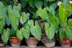 Taroinstallaties in potten Royalty-vrije Stock Fotografie