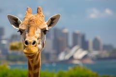 Taronga动物园长颈鹿 免版税库存照片