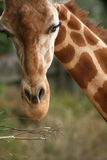 Taronga zoo giraffe Royalty Free Stock Image