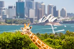 Taronga Zoo Giraffes Stock Photography